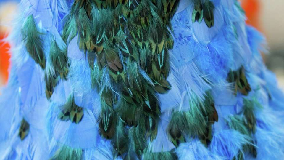 A close up of the bright blue peacock feathers.
