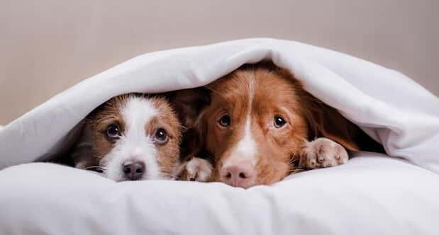 Dog Jack Russell Terrier and Nova Scotia duck tolling Retriever lying on the bed under the covers.