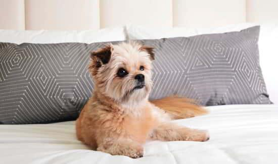 delano-las-vegas-hotel-room-dog-friendly-gemini-on-bed.tif.image.550.325.high