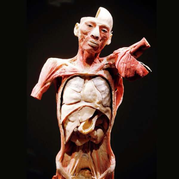 The Exhibition showcases real full-bodies and organs, providing a detailed, three-dimensional vision of the human form rarely seen outside of an anatomy lab.