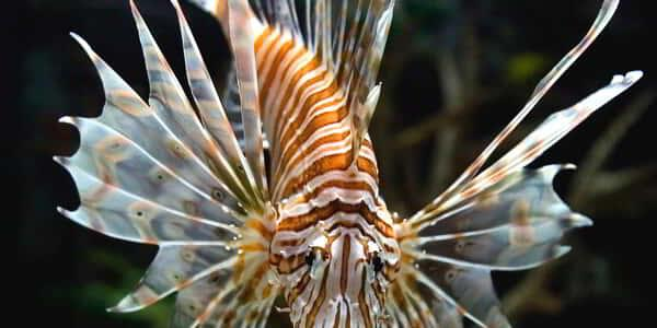 mandalay-bay-attraction-shark-reef-aquarium-lion-fish
