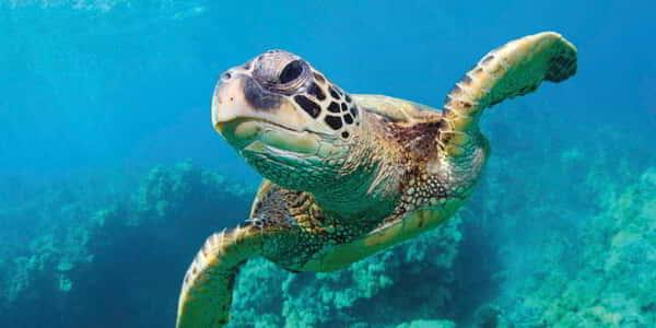 mandalay-bay-attraction-shark-reef-aquarium-sea-turtle