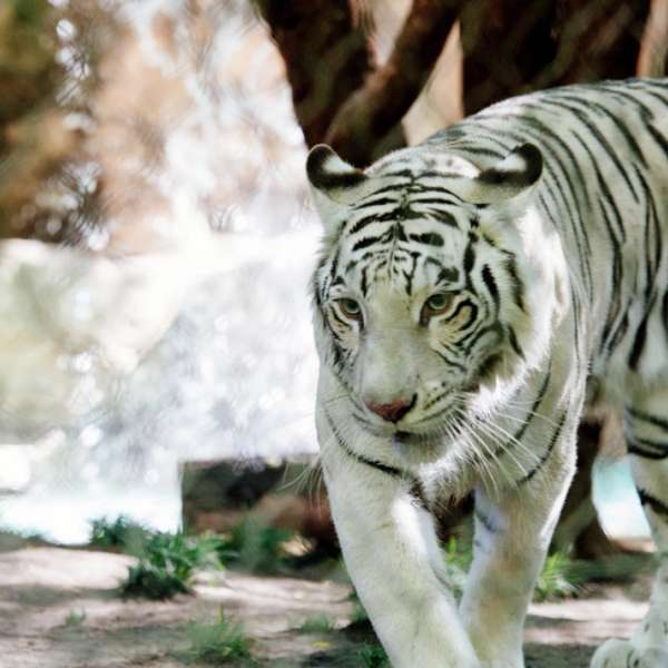 mirage-secret-garden-dolphin-habitat-cat-tiger-walking-waterfall
