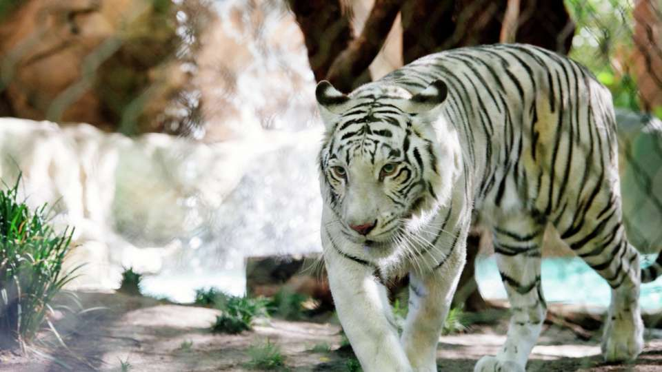 White Tiger at the Secret Garden at The Mirage