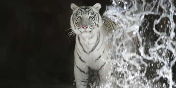 mirage-secret-garden-dolphin-habitat-cat-white-tiger-waterfall